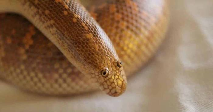The Arabian sand boa is a dangerous but funny-looking snake: its face seems practically drawn by a child!