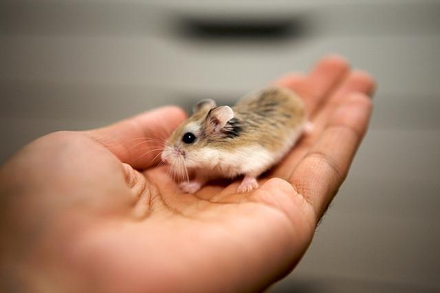 Hướng dẫn cách nuôi hamster robo