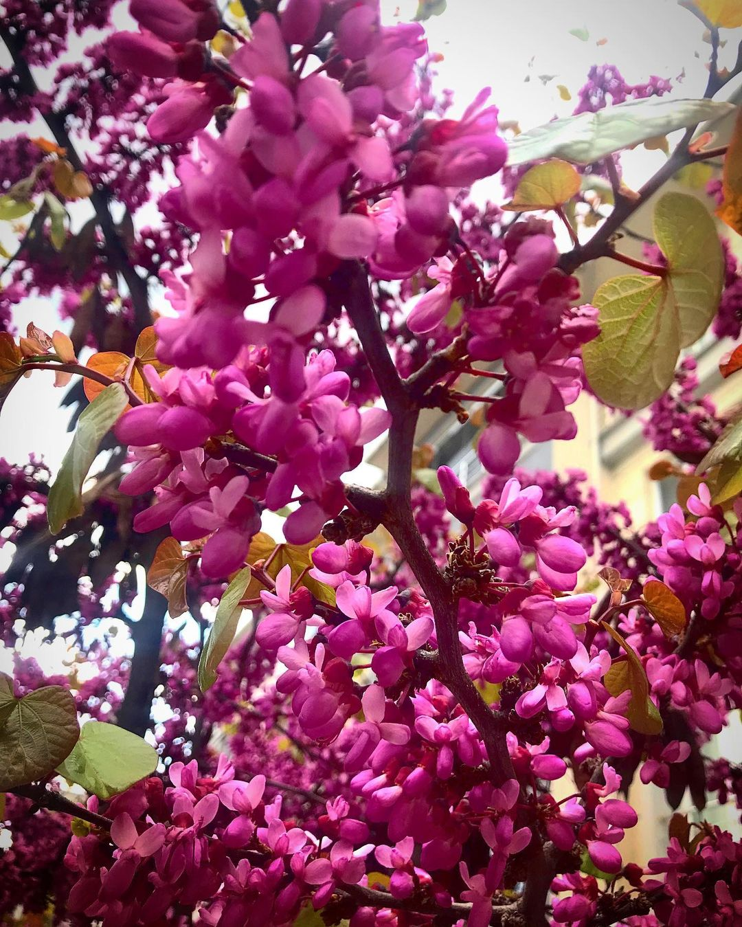 Erguvan Nerede erguvan rengi erguvan ağacı erguvan çiçeği erguvan ne demek