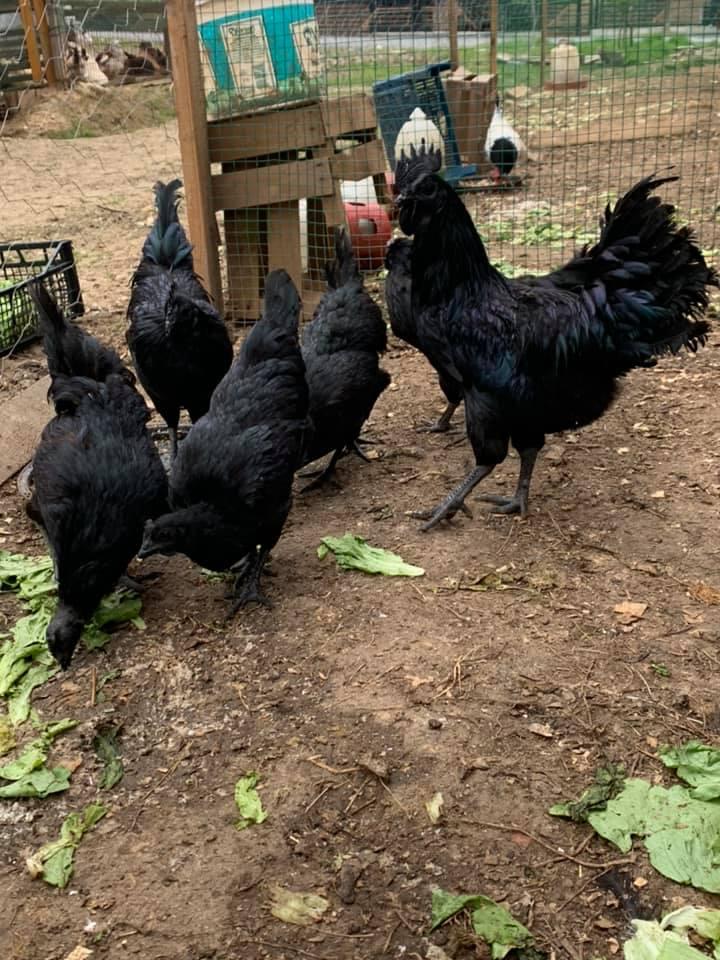 Ayam cemani lidah hitam pekat