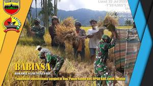 Dalam rangka swasembada Ketahanan Pangan, Babinsa Muaralabuh bantu petani panen padi