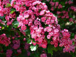 cara-menanam-bunga-sakura.jpg