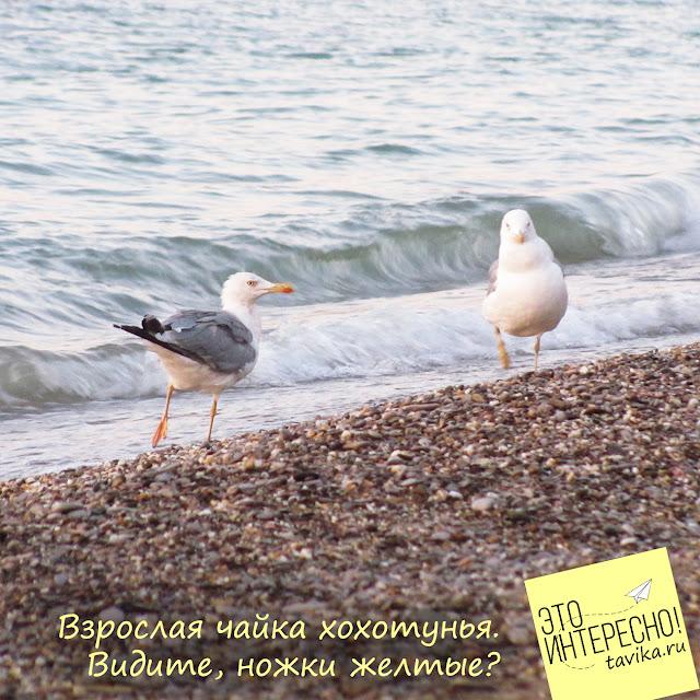 Чайка хохотунья, Крым
