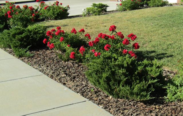Red Roses with Juniper in Neighbors Yard