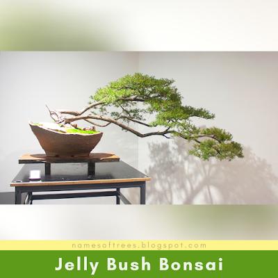 Jelly Bush Bonsai