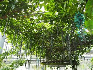 ヒスイカズラ                         サカタのタネグリーンハウス トロピカルガーデン内