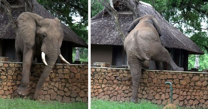 A jumbo job: Elephant carefully clambers over 5ft wall in attempt to s.teal mangoes from a safari lodge tree