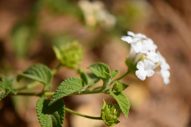lantana, small sunny garden, garden bloggers bloom day, amy myers, desert garden, white