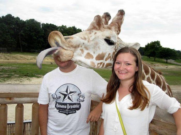girafa dando língua
