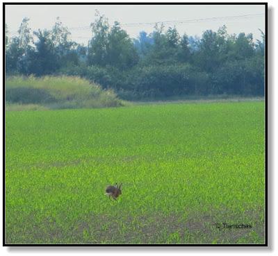 Hasen auf dem Maisfeld