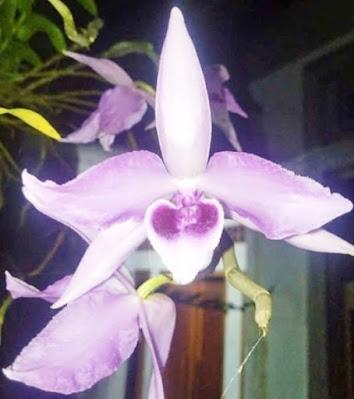 Bunga Anggrek Bulan Ungu 03