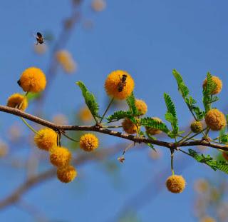 ต้นกระถินเทศ (ดอกคำใต้) ดอกมีกลิ่นหอม