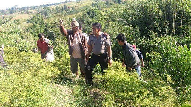 Ditanam di Ladang Warga, Polres Simalungun Temukan 22 Batang Pohon Ganja