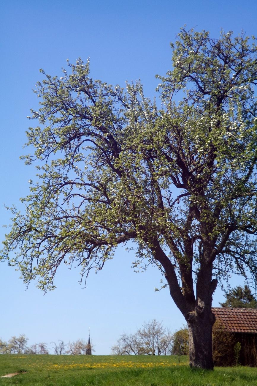 Blühender Birnbaum
