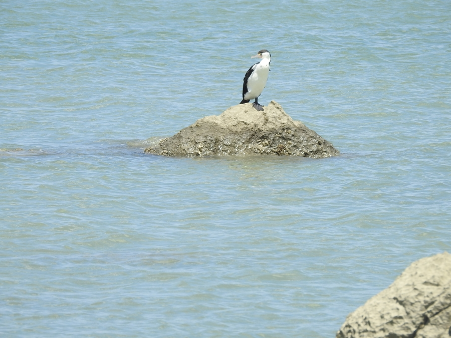 white-breasted-cormorant