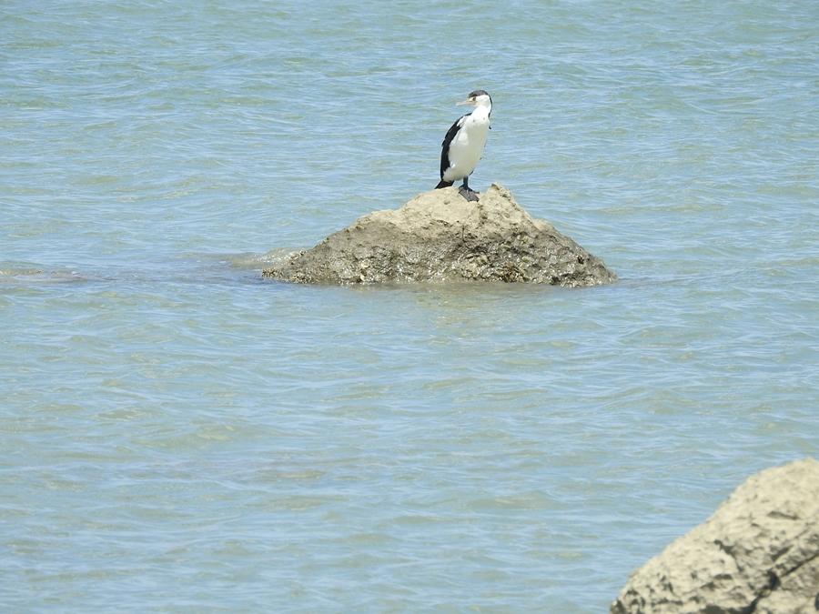 white-breasted-cormorant
