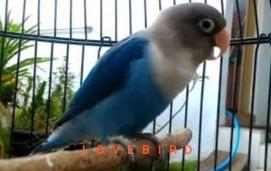 Suara Kicauan Burung Lovebird Masteran mp3