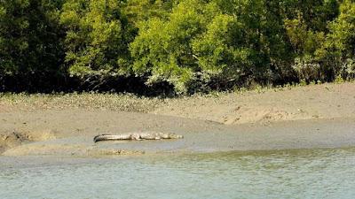 crocodile-liying-on-the-mud-at-river