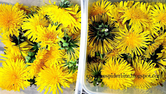 dandelion flowerheads after collecting for dandelion syrup