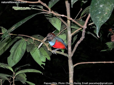 Red-bellied Pitta in Tropical Rainforest of Manokwari