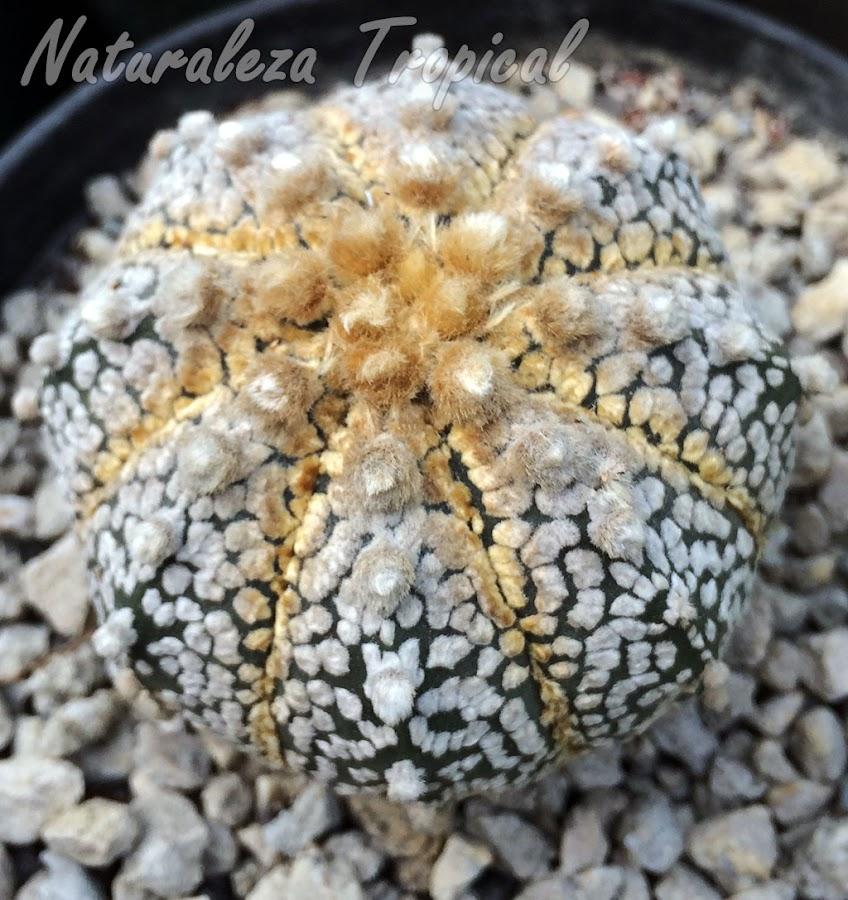 Cactus Astrophytum asterias híbrido