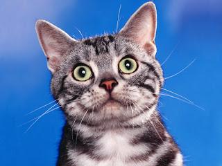 gato ojos grandes abiertos