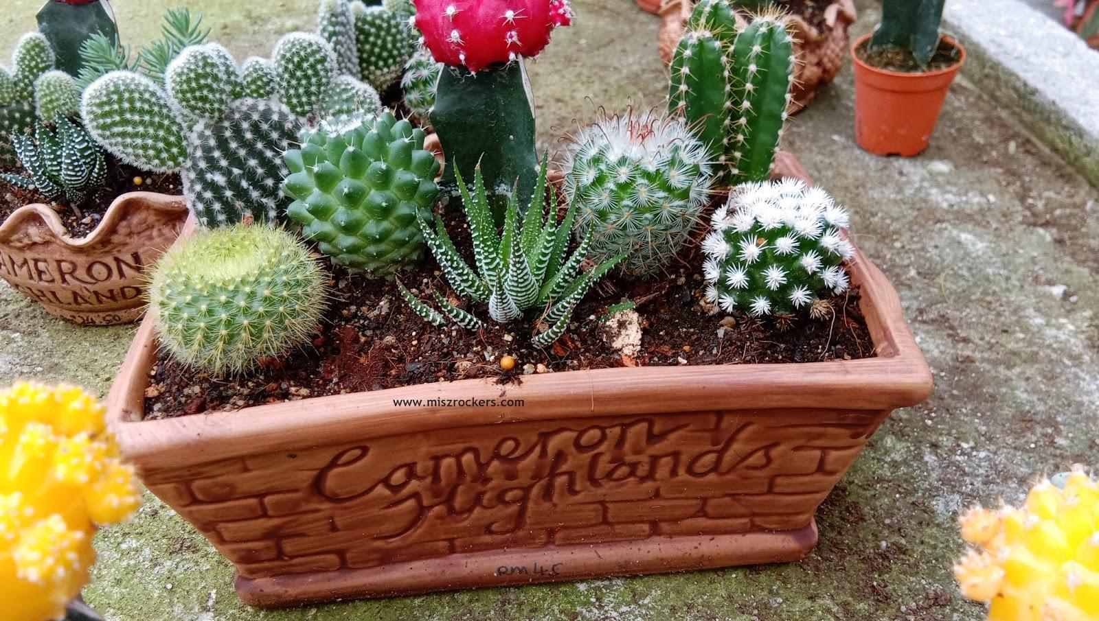 Banyak Jenis Pokok Cactus Ada Di Cactus Point Cameron Highlands Ceritera Si Gadis Biru