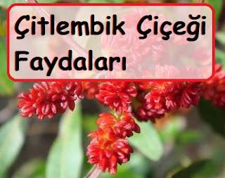 Çitlembik Çiçeği Faydaları