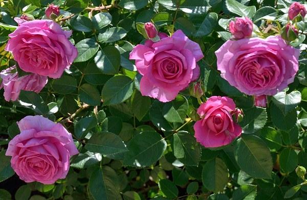 Claire Marshall роза фото