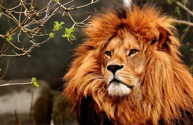 Lion - King of Jungle