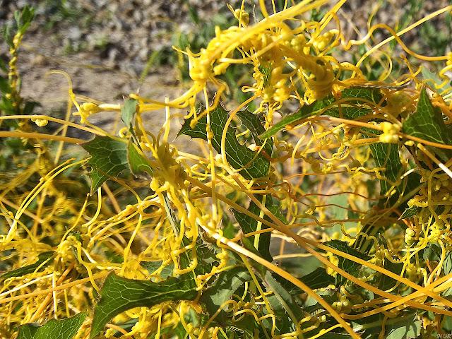 Повилика (Cuscuta L.) – сорняк семейства Вьюнковые