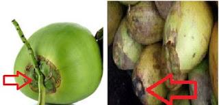 cara pilih kelapa muda yang bagus