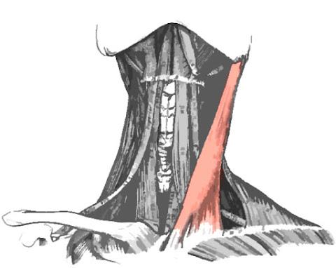 Imagen del músculo esternocleidomastoideo resaltado