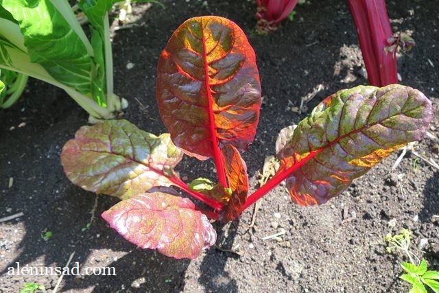 мангольд, свёкла, листовая, выращивание, всходы, сорта, внешний вид, как выглядит, листья мангольда, аленин сад