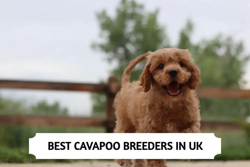 Best Cavapoo Breeders in UK