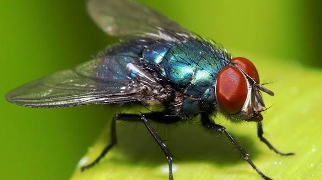 Seputar Lalat