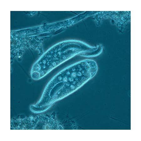 disease ecology a positive of protozoa