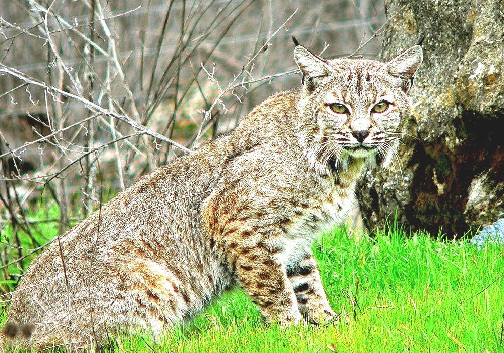 bobcat - photo #10
