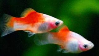 Tips bagaimana cara membedakan ikan platy jantan dan betina secara mudah