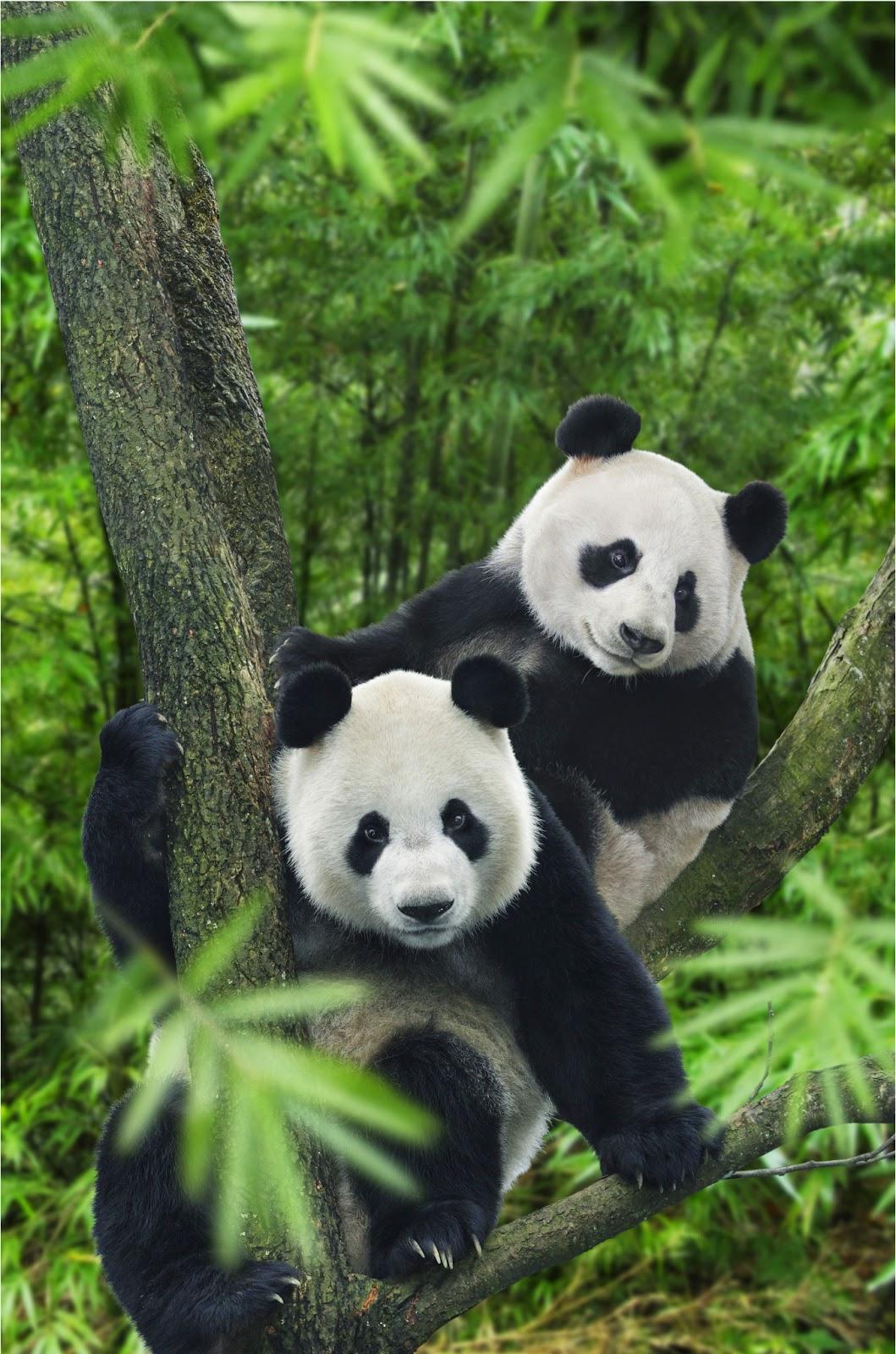 Panda Kai Kai Dan Jia Jia Baru Saja Merayakan Ulang Tahun