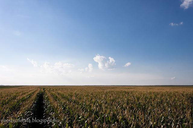 Kukorica föld nyáron Kiszombor mellett