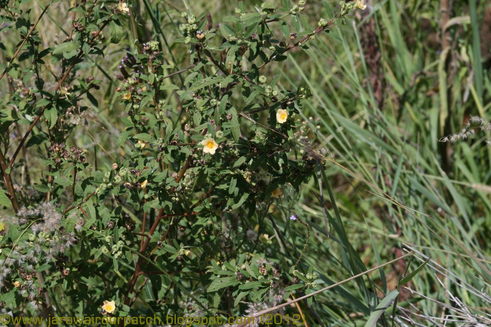 Id Help Needed Possible Weed Yellow Flower 200112