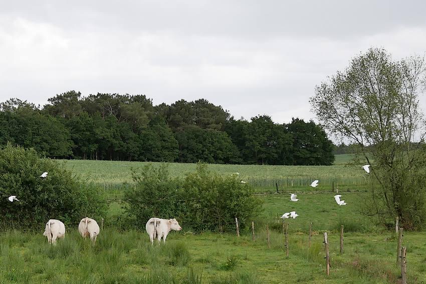 les herons garde boeufs se plaisent en Bretagne