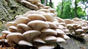 khasiat mengonsumsi jamur tiram putih sebagai pangan dari hutan di indonesia nurul sufitri travel lifestyle blogger review culinary