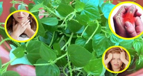 Health Benefits of Shiny Bush or (Pansit-Pansitan) You Probably Didn't Know!