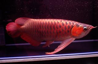 Dayung Ikan Arwana Yang Bagus
