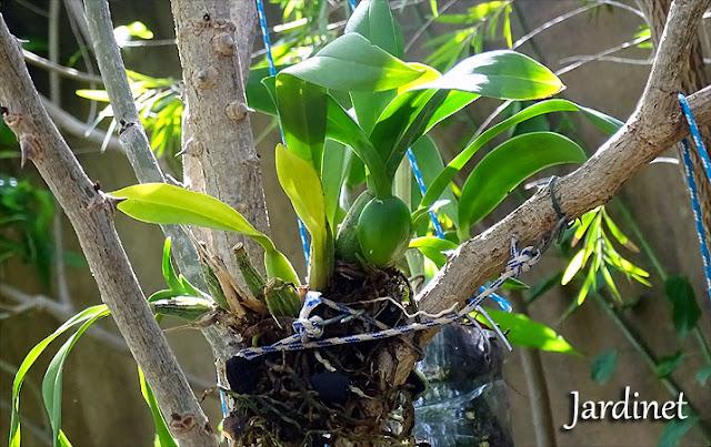 Replante de oncidium na árvore