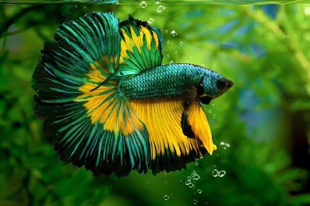 Peluang Usaha Ikan Hias dan Tips Menjalankannya