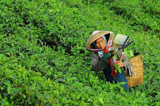 An woman plucking tea leaves with hands
