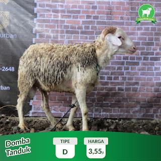 Domba Tanduk Jogja Harga 2.55 jt
